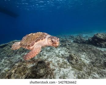 Loggerhead Sea Turtle in coral reef of Caribbean Sea around Curacao