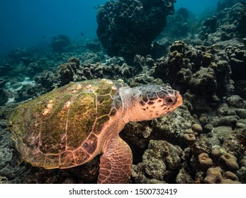 Loggerhead Sea Turtle in coral reef of Caribbean Sea around Curacao