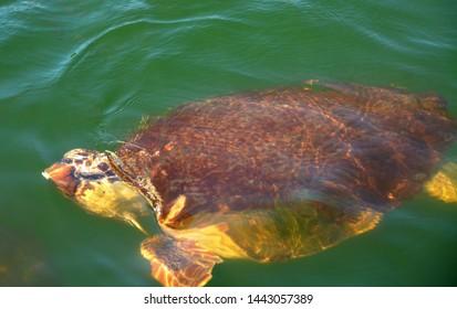 Loggerhead sea turtle in Dalyan river, Turkey