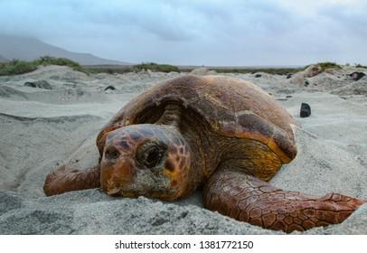 Loggerhead sea turtle nesting in Boa Vista, Cape Verde
