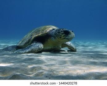 Loggerhead sea turtle at rest