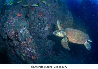 Loggerhead sea turtle swimming in deep blue water