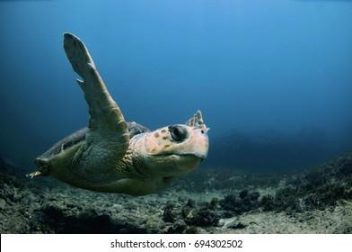 A loggerhead sea turtle swimming in deep water in the Atlantic Ocean.