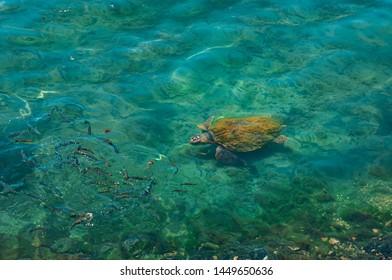 Loggerhead sea turtle swimming with fishes, Caretta caretta in Kalkan Antalya