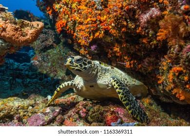 loggerhead sea turtle swimming on a colorful coral reef