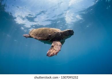 Loggerhead Sea Turtle swimming in the open sea