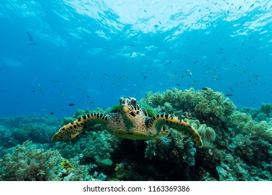 loggerhead sea turtle swimming over a coral reef with sun rays