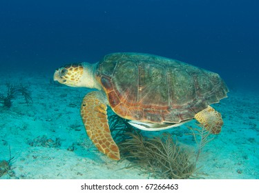 Loggerhead Sea Turtle-Caretta caretta, swimming above a sandy bottom at a depth of sixty feet off Deerfield Beach Florida.