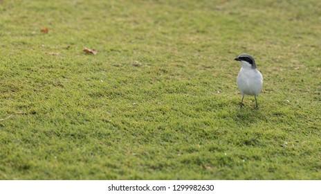 Loggerhead shrike bird Lanius ludovicianus perches the grass in Fort Myers, Florida