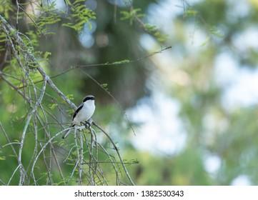 Loggerhead shrike bird Lanius ludovicianus perches on a tree in Fort Myers, Florida