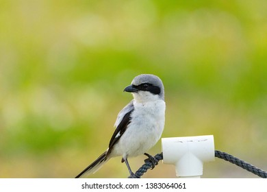 Loggerhead shrike bird Lanius ludovicianus perches on a rope in Fort Myers, Florida