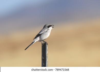 Loggerhead Shrike (lanis ludovicianus)