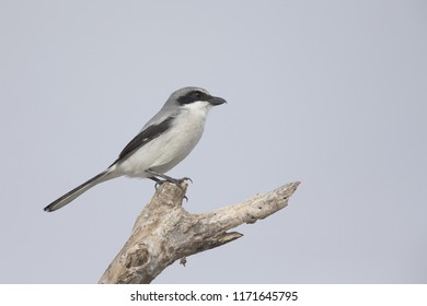 loggerhead shrike (Lanius ludovicianus) perched on a branch.