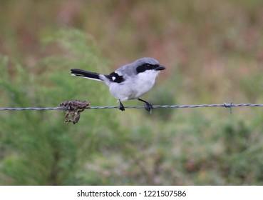 loggerhead shrike on barbed wire