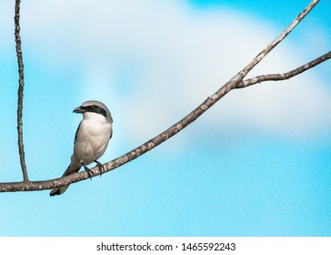 Loggerhead Shrike Perched Quietly on a Branch