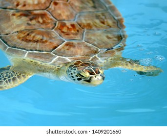 """""""Loggerhead Turtle""""  A captive raised Loggerhead sea turtle captured on camera in a gorgeous blue holding tank at a local sea animal sactuary."""