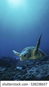 Loggerhead turtle (caretta caretta), drifting