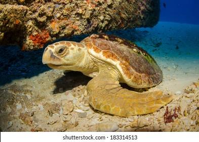 Loggerhead turtle, Caribbean sea.