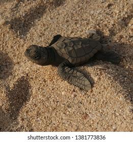 Loggerhead turtle crawling to the sea