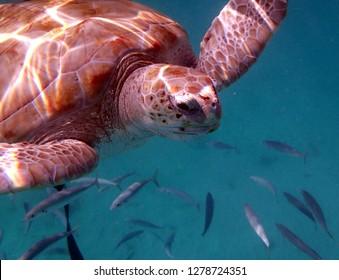loggerhead turtle with fish off Barbados
