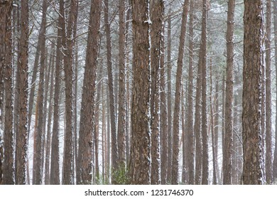 Logs in pine forest with snow
