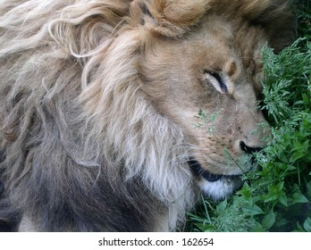The Loin sleeps