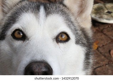 Loki, the young husky, looks innocently and curiously at the camera