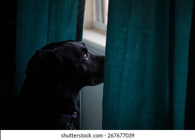 Lola at Window - a picture of my black rescue dog waiting for my wife to come home.