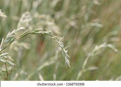 Lolium perenne or perennial ryegrass