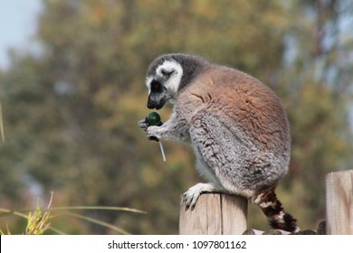 lollipop eating lemur
