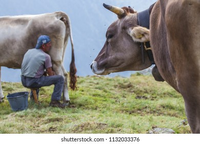 Lombardy - 11 Lug 2018 A farmer breeds and cows his cow in nature according to ancient traditions. The breeder feels every morning to have fresh milk and excellent quality.