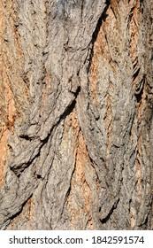 Lombardy poplar bark - Latin name - Populus nigraa var. italica