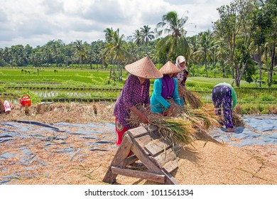 LOMBOK, INDONESIA - DECEMBER 30, 2016: Women workers harvesting rice in the fields of Lombok in Indonesia
