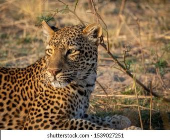 Lon shot closeup of leopard laid down looking back