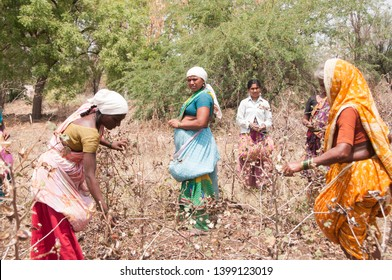 LONAR, MAHARASHTRA, INDIA 6 APRIL 2018 : Unidentified Indian women harvesting cotton in the cotton field at morning, An Indian rural farming scene.