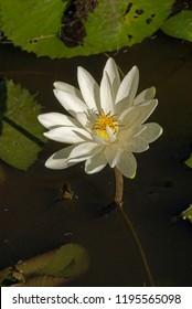 Lonavala Maharashtra India February 15 2009 White flower lotus kamal himani nymphaea pubescens