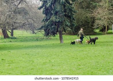 LONDON- APRIL, 2018: Man walking dogs in Gunnersbury Park in Hounslow, west London