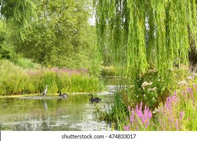LONDON - August 16: A heron and black swans bask in a pond at Regent's Park on August 16, 2016 in London, England, UK.