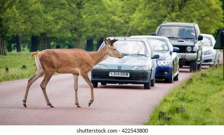 LONDON - MAY 16, 2016: Deer crossing road as traffic waits.