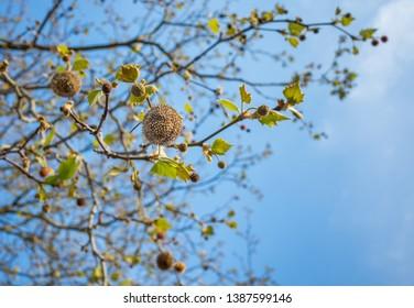 A London Plane (Platanus × hispanica) tree with seed balls