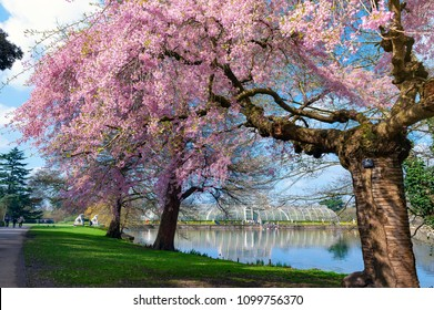London, UK - April 2018: Cherry blossom trees at Kew Gardens, a botanical garden in southwest London, England, houses the largest and most diverse botanical and mycological collections in the world