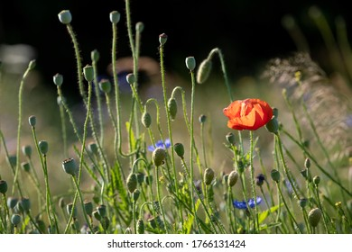 London UK. June 2020. Red poppies amongst other colourful wild flowers, photographed during a heatwave in Gunnersbury Park, west London, UK.