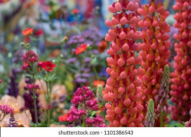 London UK, May 2018. Stunning red lupins in artisan garden at Chelsea Flower Show, hosted by the Royal Horticultural Society.