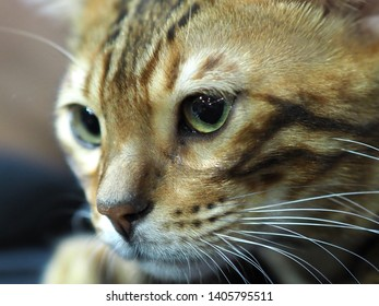 London, UK - May 2019 – Face of A Pedigree Cat - Bengal Cat looking left, at the Cat Show in Tobacco Dock, UK