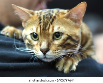London, UK - May 2019 – Face and Paws of A Pedigree Cat - Bengal Cat looking over owners shoulder, at the Cat Show in Tobacco Dock, UK