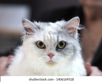 London, UK - May 2019 – Face of a Pedigree Cat –A Grey and White Selkirk Rex Looking Straight At The Camera, At The Cat Extravaganza Show in Tobacco Dock, UK