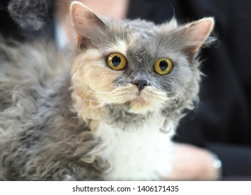 London, UK - May 2019 – Face of a Pedigree Cat – An Orange, grey & White Selkirk Rex looking straight at the camera, at the Cat Show in Tobacco Dock, UK