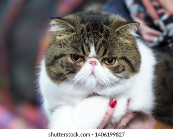 London, UK - May 2019 – Face of a A Pedigree Cat – An Exotic Shorthair Looking Straight at The Camera, at the Cat Show in Tobacco Dock, UK