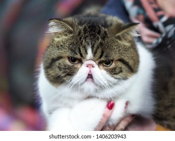 London, UK - May 2019 – Face of A Pedigree Cat – An Exotic Shorthair Looking Straight at The Camera With His Mouth Open, at the Cat Show in Tobacco Dock, UK