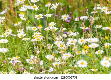 London, UK St James Park green grass weeds with white daisy flowers in summer closeup pattern of bloom